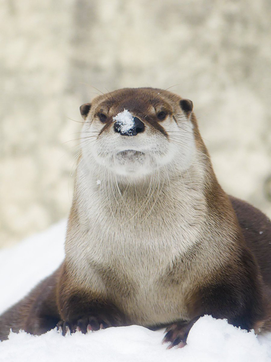 I'm Not Sure Otter Is in the Mood to Be Told He Has Snow on His Nose