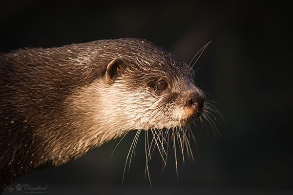 The Light Glints Off Otter's Whiskers