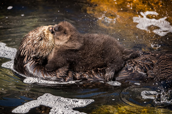 Even Sea Otter Mothers Smoosh Their Babies' Faces with Kisses