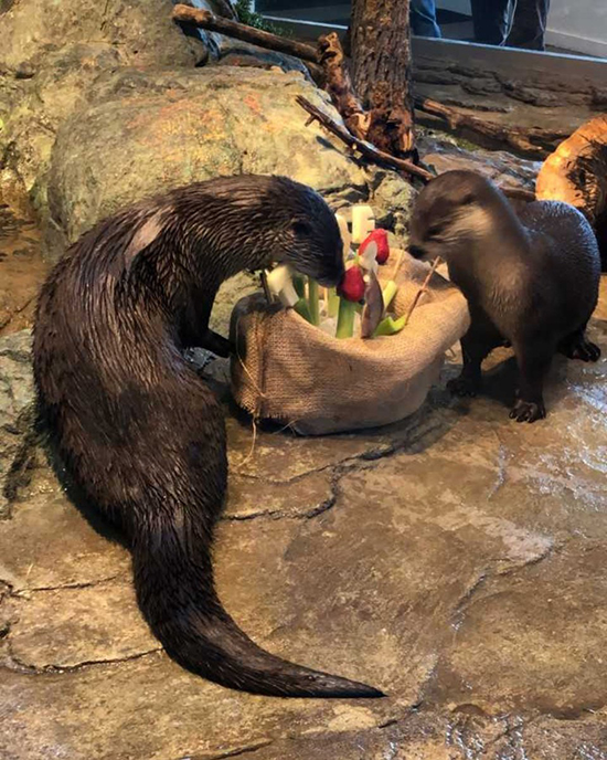 Otter and His Lucky Pal Dig into a Birthday Surprise