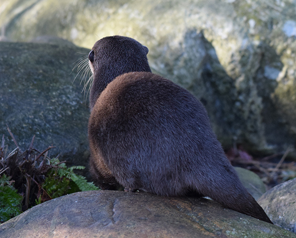 Round Otter Rump