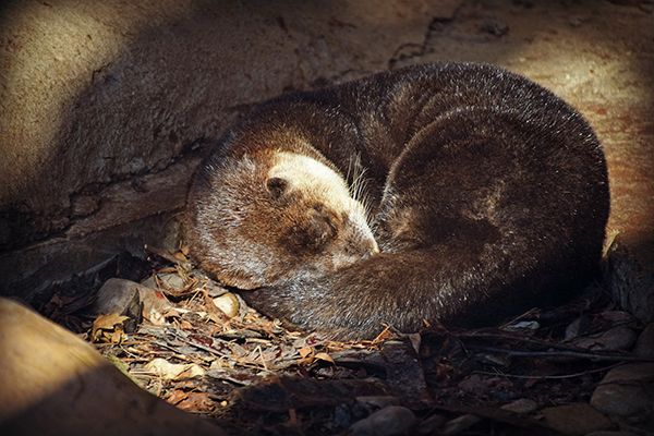 A Beam of Light Falls Upon a Sweetly Sleeping Otter