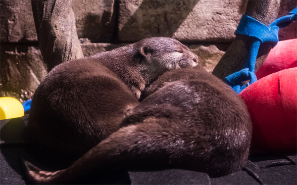 Daylight Savings Is Hard Even for Otters