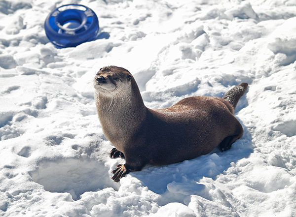 Otter Practices His Cobra Pose