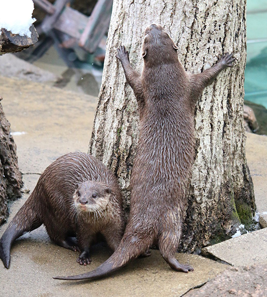 Otters Are Real Tree-Huggers