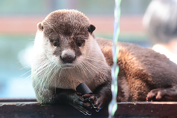 Otter Is Mesmerized by the Magic of Running Water