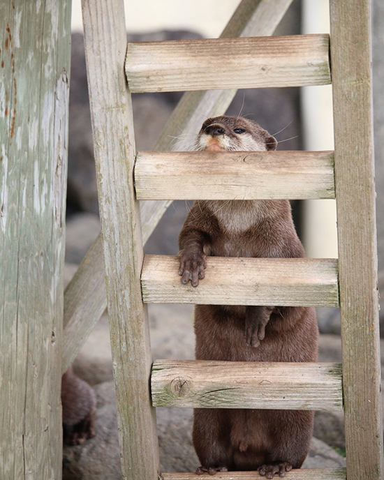 Otter Is Too Sleepy to Climb This Ladder