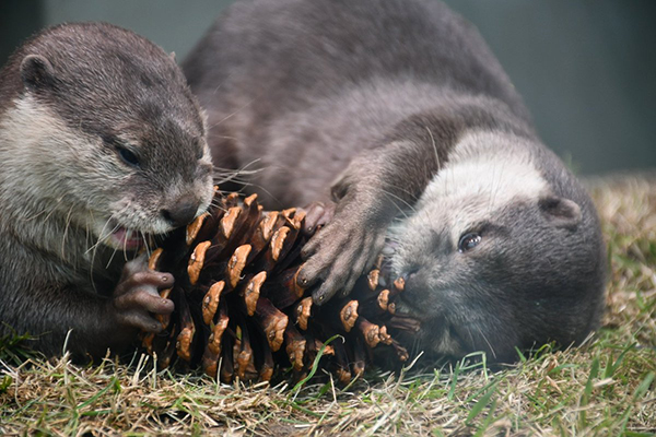 Little Otters Get to Work on a Pine Cone