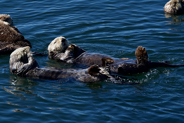 It's Lazy Hour on the Water for These Sea Otters
