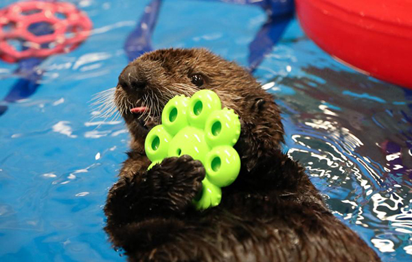 Little Sea Otter Mara Has a Toy