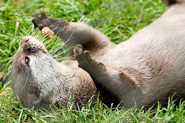 Otter's Juggling Rock Catches Some Air