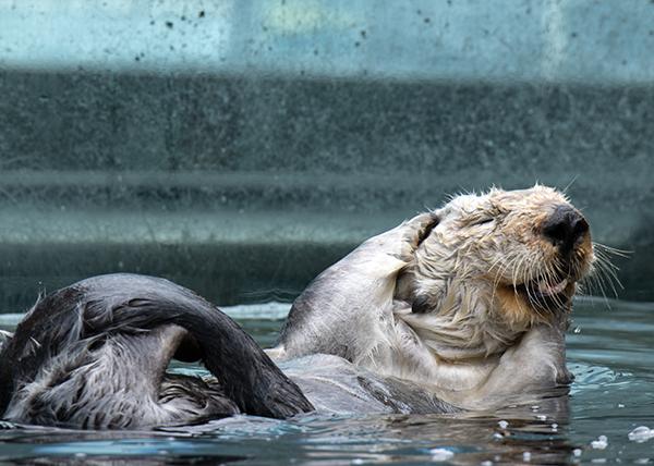 Otter Has the Most Delightful Scrub 1