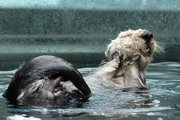 Otter Has the Most Delightful Scrub 2