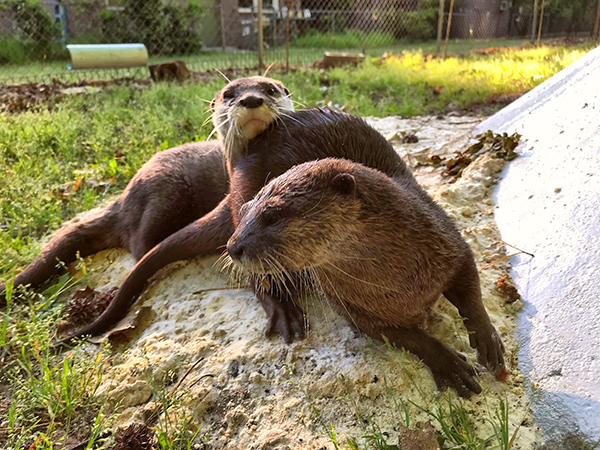 Otters Have Found a New Best Friend in Each Other