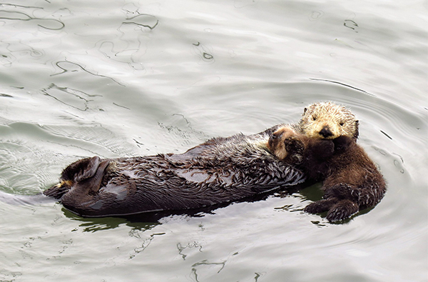 Sea Otter Pups Love Their Mothers, Too