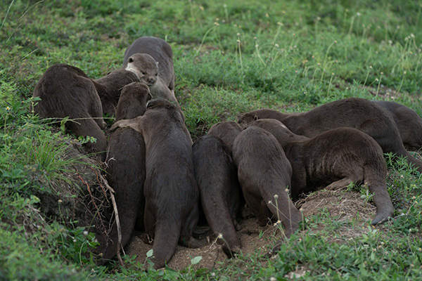 Otters Crowd Around... a Game of Craps?