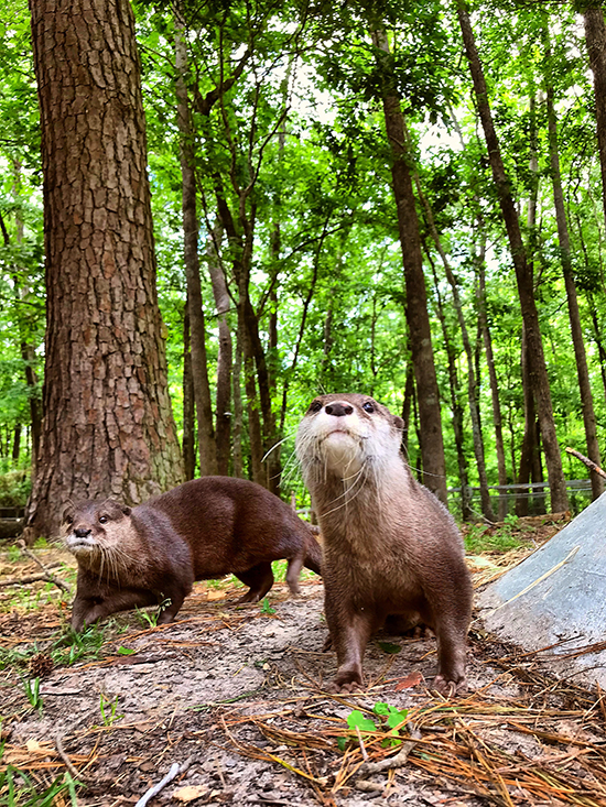 Otter Pals Go for a Romp Among the Trees