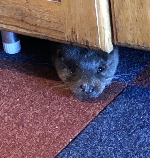Surprise Guest Otter Makes Himself at Home in Human's House