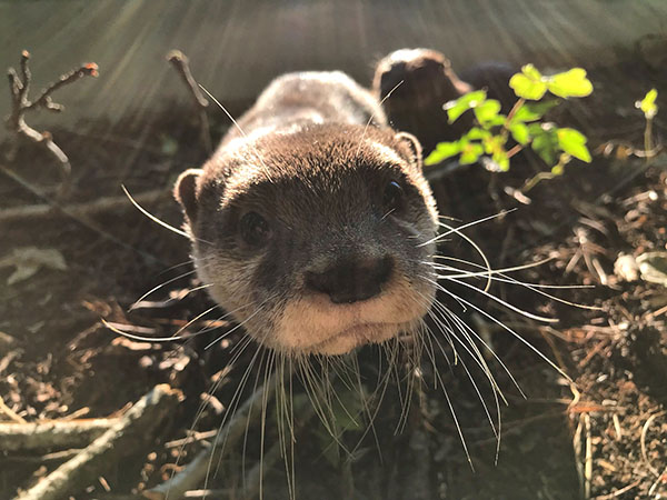 The Sunlight Really Highlights Otter's Impressive Whiskers