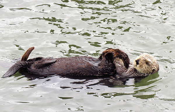 Sea Otter Mother Carries Her (Quite Large) Pup on Her Belly