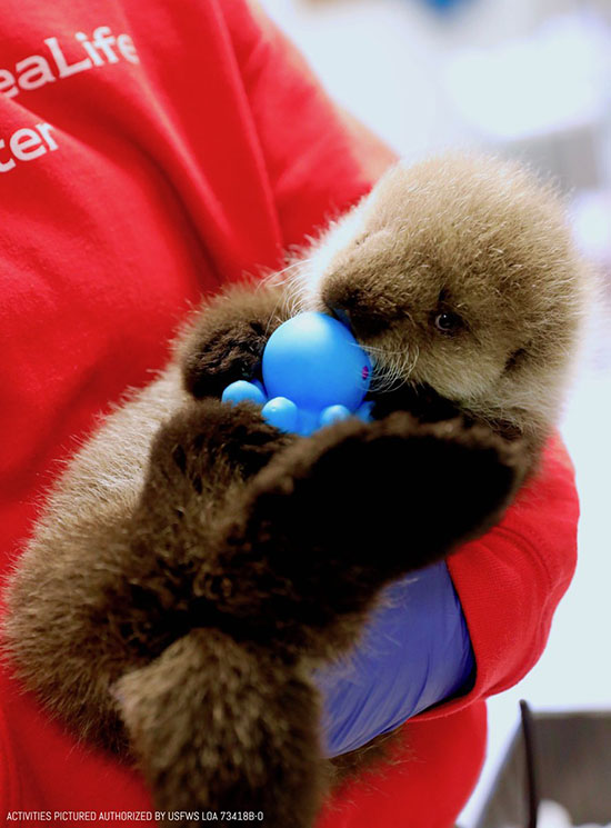 Sea Otter Pup Gets an Octopus Teething Toy