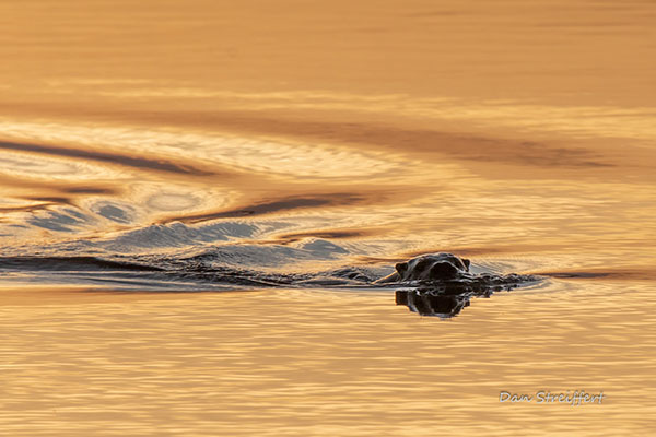Otter Enjoys a Leisurely Swim at Dusk