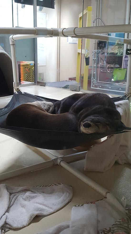 Yin Yang Otters