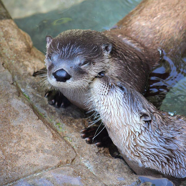 Otter Gives Her Friend a Nuzzle