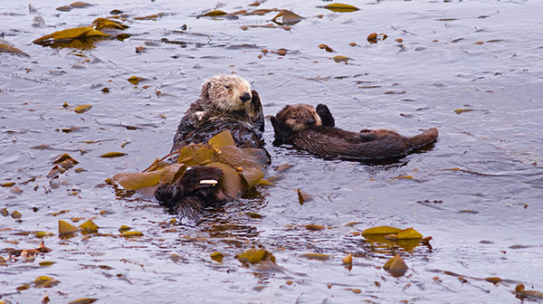Sea Otter Pup Grudgingly Learns the YMCA Dance