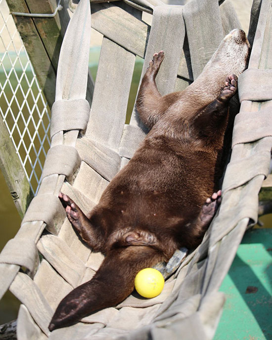 Otter Spends a Languid Afternoon Sunbathing in Her Hammock