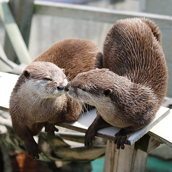 Otters Gently Boop Noses