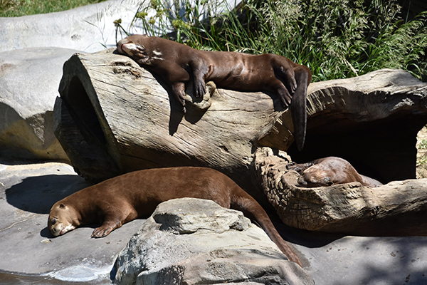 Giant Otters Spend a Languid Afternoon Sunbathing