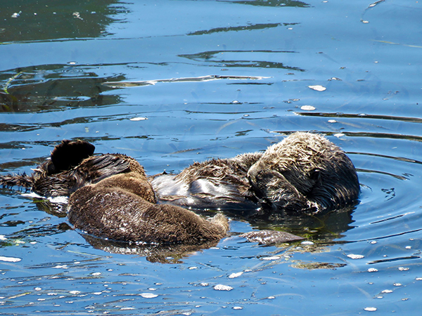 Mother Sea Otter Uses Her Flipper to Keep Ahold of Her Pup While They Nap