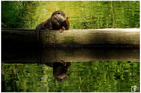 Is That Your Reflection, Otter, Or an Eerie Doppelgänger?