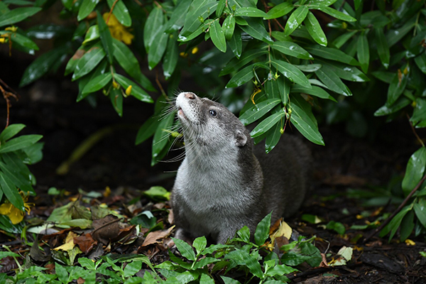 Otter Spends a Moment Taking in the Fresh Air