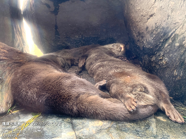 Just a Few Passed-Out Otters
