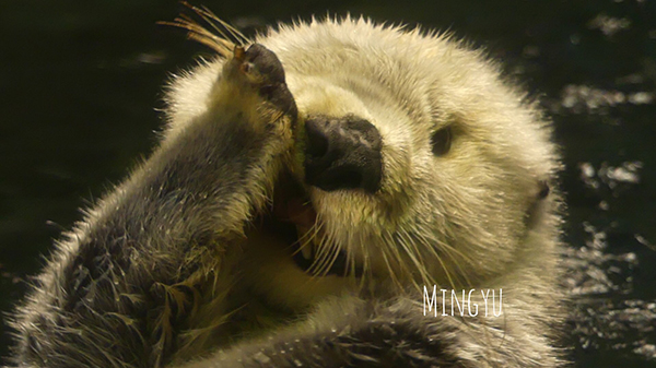 Is This the Sea Otter Equivalent of a TV Character Casually Pulling Back His Jacket to Show a Weapon?