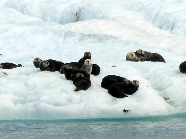 Sea Otters Lounge on an Iceberg