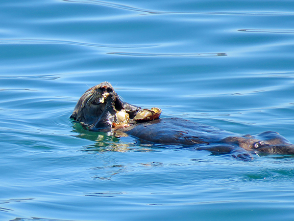 Sea Otter Gobbles Up a Crab Feast