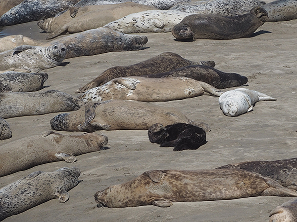 Sea Otter Spends a Lazy Day Lounging on the Beach with Seal Pals