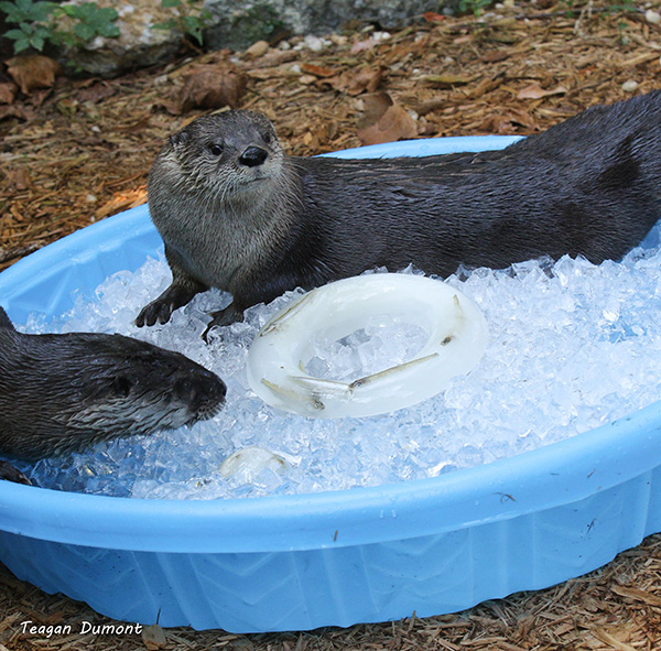 That Ice Pool Looks Like It Must Be Such a Relief, Otters — You Can Keep the Frozen Fish, Though