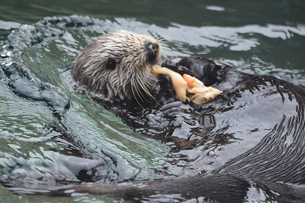 Sea Otter Gobbles Up a Seafood Snack