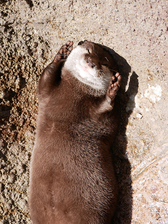 Otter Is the Very Image of Basking in the Sunlight