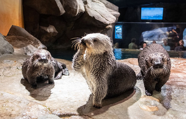 Flanked by Her Bodyguards, Sea Otter Blows Kisses to Her Adoring Fans
