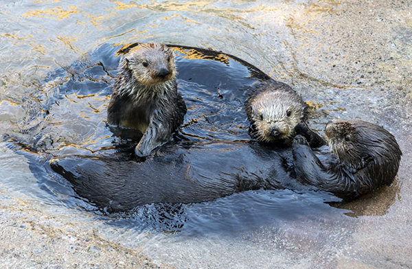 Sea Otters Relax and Enjoy Each Otter's Company