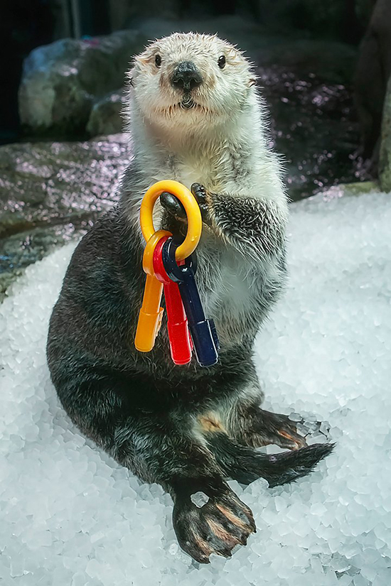 Sea Otter Ollie Holds the Keys to All Our Hearts