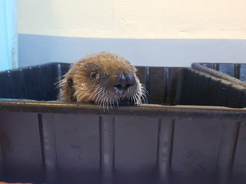 Rescued Sea Otter Pup Tazlina Is Ready to Check Out Her New Home at Vancouver Aquarium