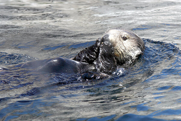 Sea Otter Blows Double Kisses