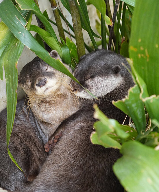 Otters Find a Quiet Place in the Greenery for Nuzzles