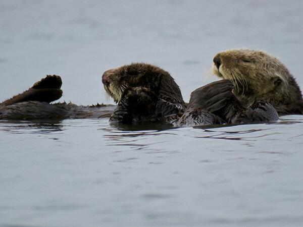Don't Sleep Through Sea Otter Awareness Week!